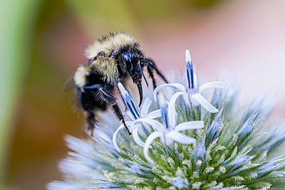 Bumblebee On Thistle Blossom Art Print by Marty Saccone