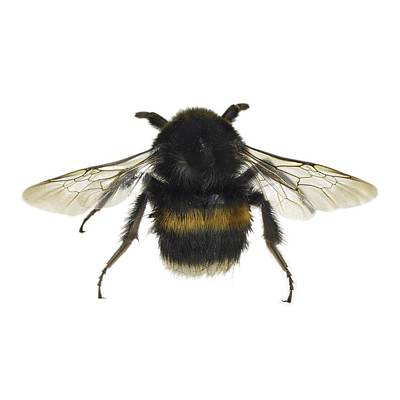 Legs Spread Photograph - Bumblebee by Science Photo Library