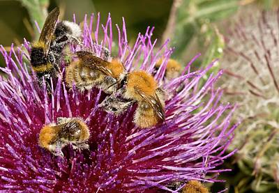 Bumblebees Feeding On Thistle Flower Art Print by Bob Gibbons