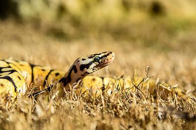 Photograph - Bumblee Bee Snake by Norchel Maye Camacho