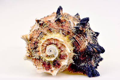 Bumpy Sea Shell Original