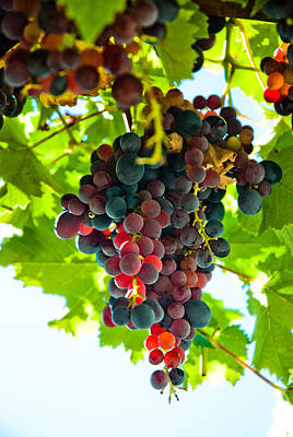 Bunch Of Grapes At The Abbey Of St. Hilaire Art Print