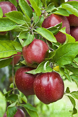 Photograph - Bunch Of Red Apples by Anthony Sacco