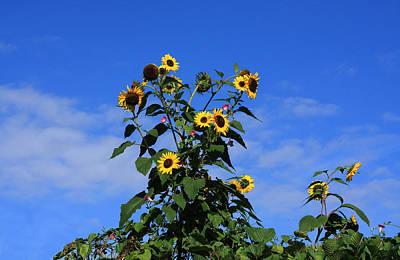 Photograph - Bunch Of Sunflowers by Aidan Moran