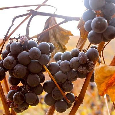 Grapes Photograph - Bunches 1   by Justin Connor