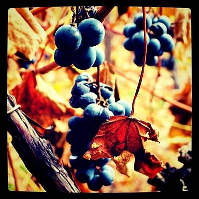 Grapes Photograph - Bunches 2   by Justin Connor
