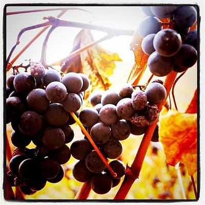 Grapes Photograph - Bunches 3   by Justin Connor
