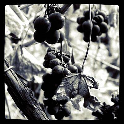 Grapes Photograph - Bunches 4   by Justin Connor