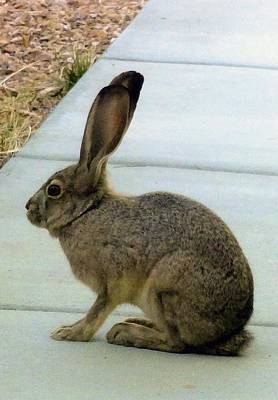 Photograph - Bunny Rabbit by Patrick Morgan