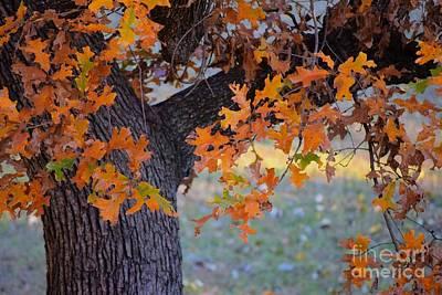 Photograph - Bur Oak Tree In Autumn by Janette Boyd