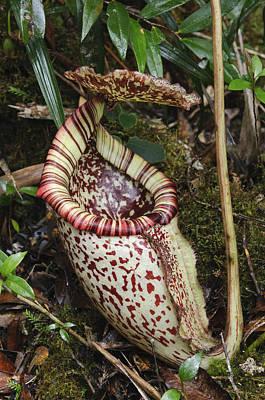 Nepenthes Photograph - Burbidges Pitcher Plant Sabah Borneo by Ch'ien Lee