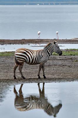 Burchell's Zebra And Reflection, Lake Art Print by Adam Jones