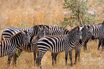 Burchells Zebra Equus Burchelli Art Print