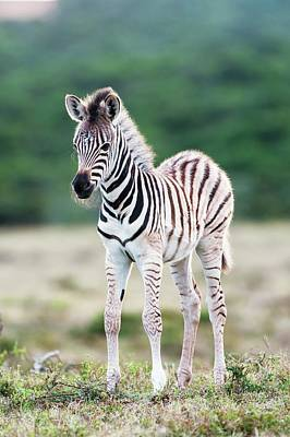 Burchells Zebra Foal Art Print by Peter Chadwick