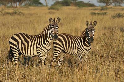 Photograph - Burchells Zebraon Savanna Serengeti by Thomas Marent