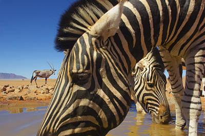 Burchells Zebras At Waterhole With Oryx Print by Theo Allofs