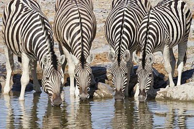 Burchells Zebras Drinking Etosha Np Art Print by Richard Garvey-Williams