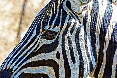 Burchell's Zebra's Face In Kruger National Park-south Africa Art Print