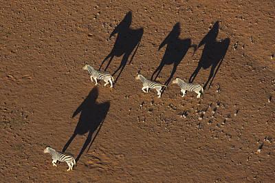 Photograph - Burchells Zebras Running In Desert by Theo Allofs