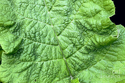 Arctium Lappa Photograph - Burdock Arctium Lappa by Colin Cuthbert / Dilston Physic Garden