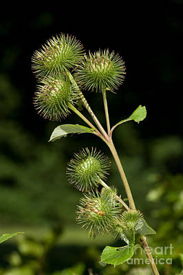Greater Burdock Photograph - Burdock Flower Buds by Frank Teigler