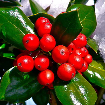 Photograph - Burford Holly Berries by Jean Wright