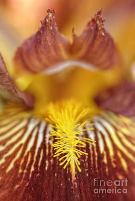 Photograph - Burgundy Iris by Martin Capek