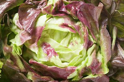 Lettuce Photograph - Burgundy Lettuce by Foodcollection