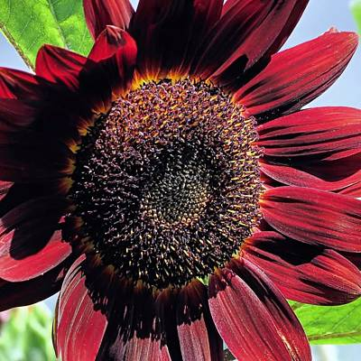 Photograph - Burgundy Sunflower by Janice Drew