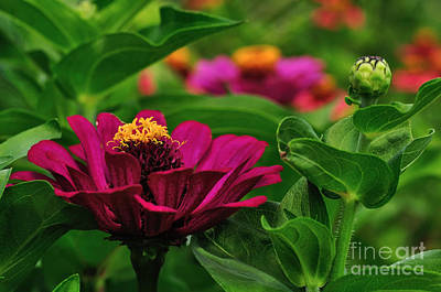 Fine Dining - Burgundy Zinnia by Kaye Menner