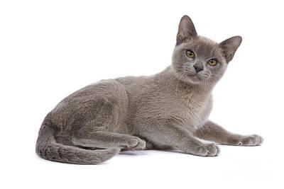 Platinum Photograph - Burmese Cat by Jean-Michel Labat