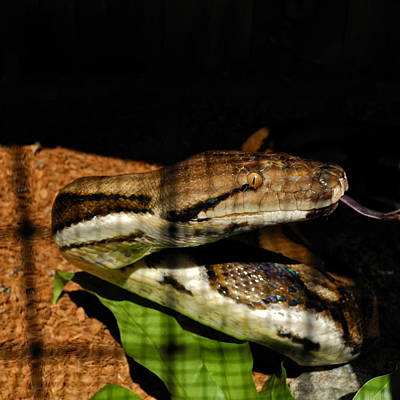 Photograph - Burmese Python by Kirsten Giving