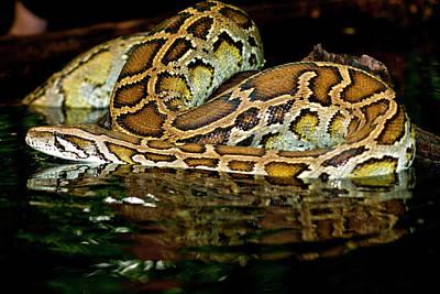 Burmese Python Photograph - Burmese Python, Python Molurus by David Northcott