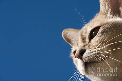 Puss Photograph - Burmilla Nose by Anne Gilbert