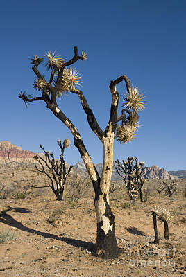 Photograph - Burned Joshua Trees by Dan Suzio