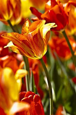 Tulips-flowers-tulips Burning Art Print
