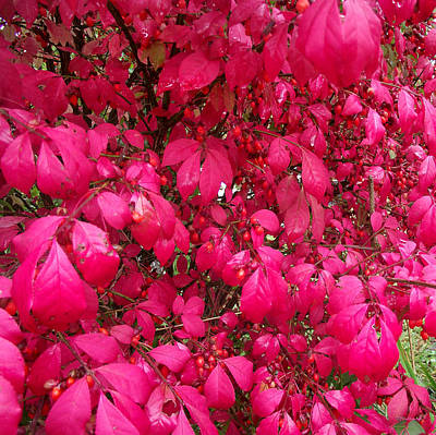 Photograph - Burnning Bush Leaves Upclose by Duane McCullough