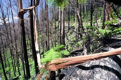 Burnt Forest Near Marysville Art Print by Ashley Cooper