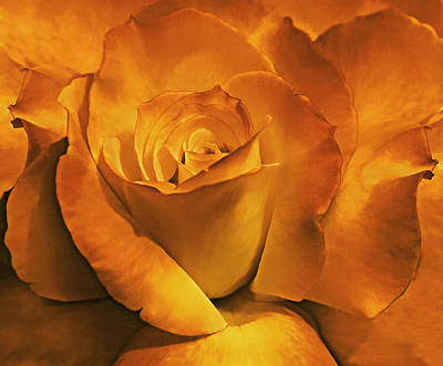 Photograph - Burnt Gold Rose Flower by Jennie Marie Schell