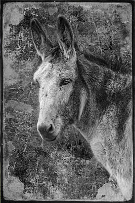 Forelock Photograph - Burro by Wes and Dotty Weber