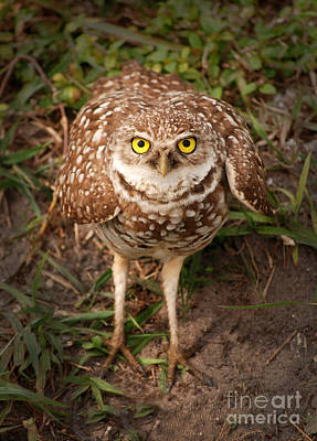 Photograph - Burrowing Owl 1 by Cindy McIntyre