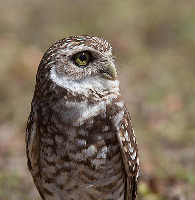 Photograph - Burrowing Owl 5 by Richard Goldman