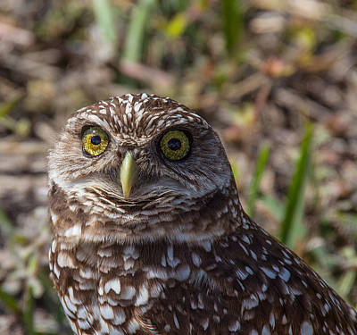 Photograph - Burrowing Owl 4 by Richard Goldman