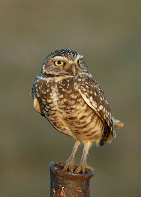 Burrowing Owl At Sunset Art Print