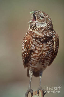 Photograph - Burrowing Owl by Connie Bransilver
