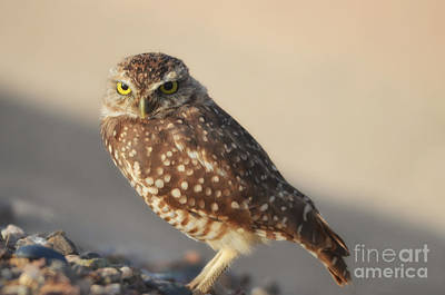Photograph - Burrowing Owl  by Donna Greene