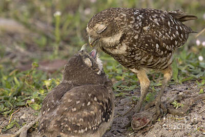 Photograph - Burrowing Owl Feeding It's Chick Photo by Meg Rousher
