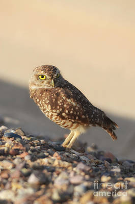 Photograph - Burrowing Owl II by Donna Greene