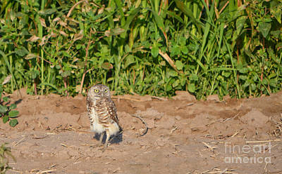 Photograph - Burrowing Owl IIi by Donna Greene