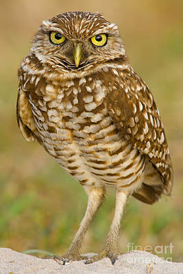 Burrowing Owl Art Print by Jerry Fornarotto